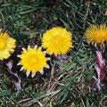 Huflattich-Heilpflanze