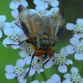 Raupenschwebfliege  Alophora hemiptera