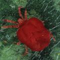 Rote Samtmilbe Trombidium holosericeum