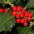 Gewöhnliche Stechpalme-Ilex aquifolium
