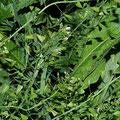Hirtentäschelkraut-Gemüse-Salatpflanze