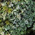 Flechten: Cladonia caespiticia, und Cladonia pyxidata, mit Polytrichum formosum