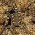 Dünen-Sandlaufkäfer Cicindela hybrida 2