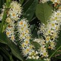Kirschlorbeer- Prunus laurocerasus Van Nes