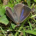 Zipfelfalter-Blauer Eichen-Quercusia quercus Vorderseite