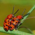 Zwölfpunkt-Spargelkäfer Crioceris duodecimpunctata 4