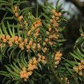 Eibe-Blüten-Taxus baccata