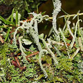 Flechten: Cladonia coniocraea u. macrophylla