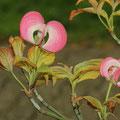 Blüten-Hartriegel-amerikanischer-Cornus florida