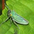 Grüne Zwergzikade Cicadella viridis