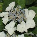 Japan-Hortensie Hydrangea macrophylla
