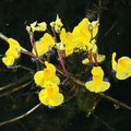 Verkannter Wasserschlauch (Utricularia australis)