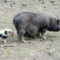 Hängebauchschwein mit Ferkel