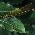 Gebänderte Prachtlibelle w. Calopteryx splendens