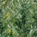 Beifuß-Gewürzpflanze