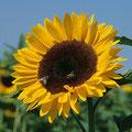 Sonnenblume-Heilpflanze