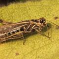 Rote Keulenschrecke Gomphocerippus rufus