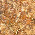 Melampsora larici-populina Pappelrost