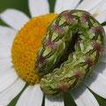 Kamillen-Mönch Cucullia chamomillae 2