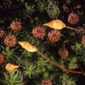 Moose: Polytrichum piliferum