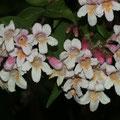 Perlmuttstrauch-Kolkwitzia amabilis