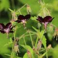 Brauner Storchschnabel Geranium phaeum