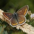 Kleiner Sonnenröschen-Bläuling Aricia agestis