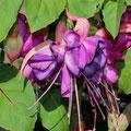 Fuchsia Hybride