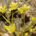 Ahorn-Blüte