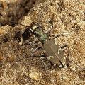 Dünen-Sandlaufkäfer Cicindela hybrida