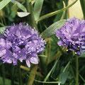 Lauch-Blume spec.
