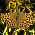 Kaisermantel Argynnis paphia