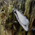 Großer Frostspanner Erannis defoliaria
