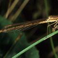 Gemeine Federlibelle Platycnemis pennipes