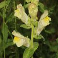 Gartenlöwenmaul-Antirrhium malus
