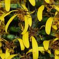 Kerzen-Kreuzkraut Ligularia przewalskii