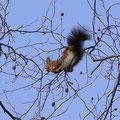 1 Eichhörnchens Akrobatenschau