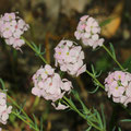 Großblütiges Steintäschel (Aethionema grandiflorum)