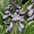 Große Graublaue-Funkie Hosta calbomarginata-undulata? cf.