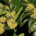 Buchsbaum-Buxus sempervirens