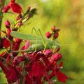 Großes Heupferd Tettigonia viridissima