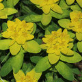 Gold-Wolfsmilch-Euphorbia polychroma