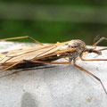 Kohlschnake Tipula oleracea