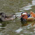 Mandarin-Entenpaar
