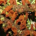 Gymnosporangium sabinae-Birnen-Gitterrost