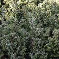 Wacholder-Gewürz-Heilpflanze