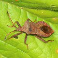 Lederwanze Coreus marginatus 2