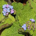 Kaukasus-Vergissmeinnicht Brunnera macrophylla