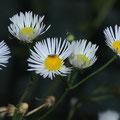 Wucherblume-Weiße