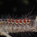 Schwammspinner Lymantria dispar